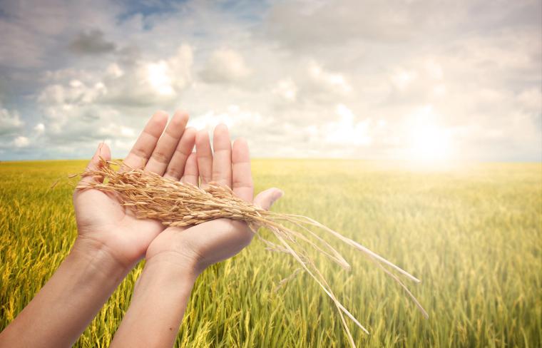 Historia y curiosidades sobre el arroz