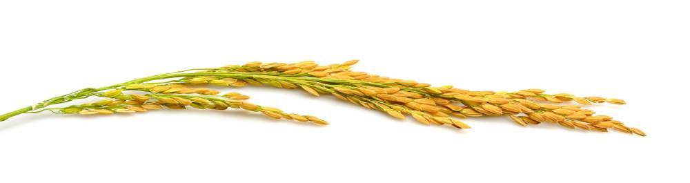 Brizna de arroz
